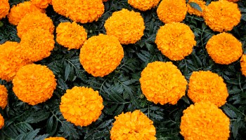 Mari-mums: chrysanthemum color lasting two or three times longer