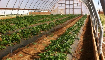Tunnel vision: Texas growers to learn how to lengthen crop production season