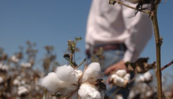 AgriLife Extension expert: China holds large supply of cotton, market in sideways pattern