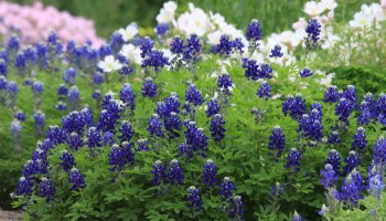 Lady Bird Johnson bluebonnet 'bluer than blue'