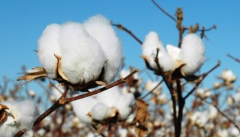 AgriLife Extension's 2013 southern on-farm cotton variety results available