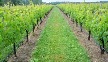 Field day to focus on controlling grape pests