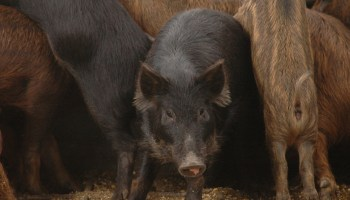 Denton County feral hog abatement demonstration set March 22