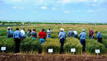 Uvalde wheat, vegetable field day sows interest among area producers