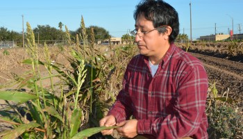 Meeting to address sugarcane aphid infestations in South Texas grain sorghum