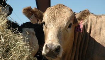 Texas A&M System agricultural agencies surveying Texas stocker cattle industry