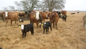 South Texas study results show Brahman, crossbred influence receive higher premiums