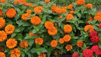 New and old fall zinnias named Texas Superstars