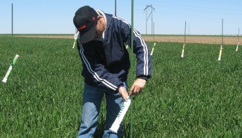 Multiple studies provide insight into drought tolerance of TAM wheat varieties