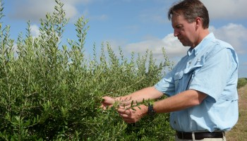 Texas producers find new oil fields -- olive groves