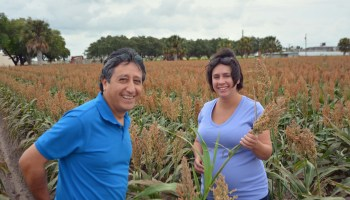 AgriLife sugarcane aphid field day Oct. 28 to address growing concerns