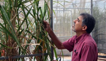 AgriLife Research sets sugarcane field day for Oct. 8 in Weslaco