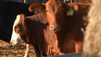 Expert: Amid historic-high cattle prices, producers can capture extra dollars