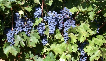 New publication explains 'grape expectations' for  Texas vineyard owners
