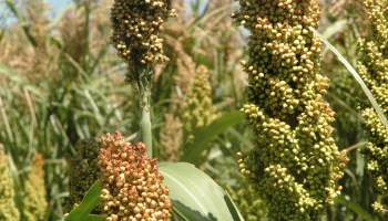 Sorghum pricing offers producers opportunity to maximize profits