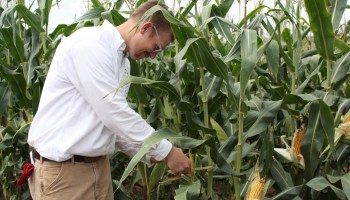 AgriLife Research study opens doors for increases in Texas corn yields, aflatoxin resistance