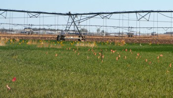 Research seeks early detection of wheat streak mosaic virus