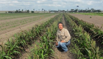 Valley grain sorghum growers likely to face rough year with pests