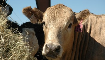 Future of the cattle market, trends to be featured at 2015 Beef Cattle Short Course Aug. 3-5
