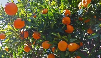 Arctic Frost satsuma mandarin hybrid named new Texas Superstar