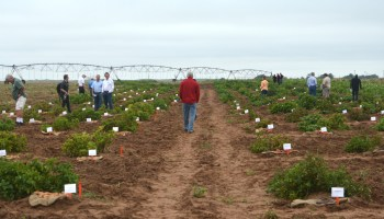 AgriLife Research potato breeding field day set for July 30 near Springlake