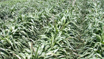 Hybrid pearl millet may resolve some forage sorghum concerns