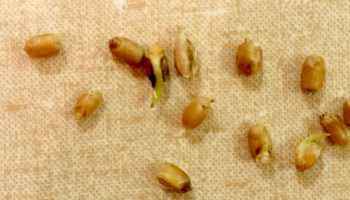 Pre-harvest sprouting in wheat threatens crop