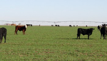 Stocker cattle management should concentrate on cattle health