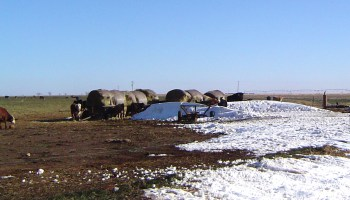 Latent effects of blizzard a concern for cow-calf producers