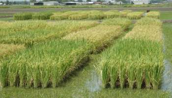 Rice breeders rally after weather, market shifts to design better varieties