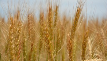 New wheat genetic advancements aimed at yield enhancement