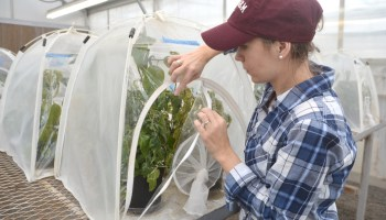 AgriLife Research entomologist testing potato psyllids for insecticide resistance