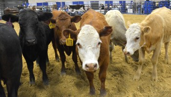Beef cattle producers should seek every pound of gain possible