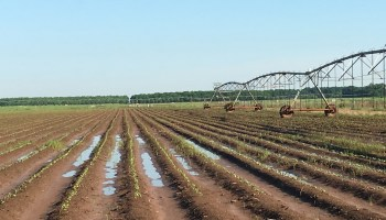 AgriLife Extension experts: Excess moisture causing crop losses across Texas