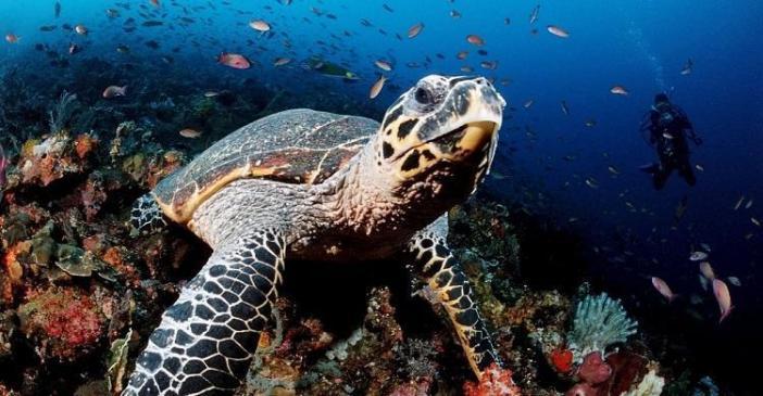 Hawksbill Turtle (Photo via UNEP)