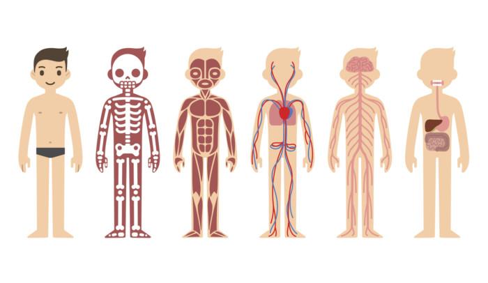 Imágenes del Cuerpo Humano partes, órganos, huesos y músculos