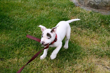 Young puppy tugs on Scout's leash.