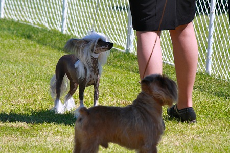 Training a Chinese crested dog.