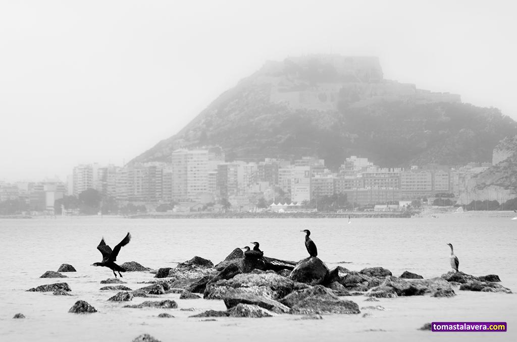 Cormoranes, en la Playa de la Almadraba #Alicante