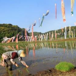 約200匹の鯉のぼりがたなびく中での田植え作業