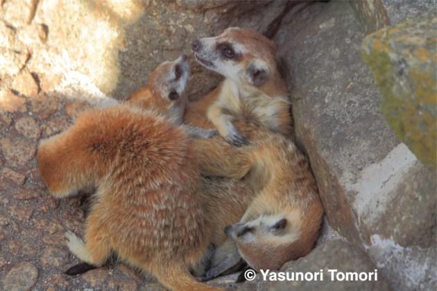 写真の奥、左側がミーアキャットの赤ちゃん=市川市動植物園にて