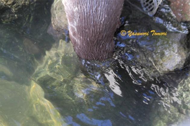 水に頭を突っ込めるコツメカワウソ=市川市動植物園にて