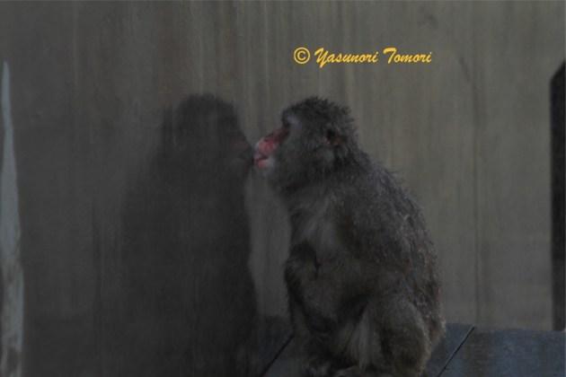 連日の酷暑の中、スプリンクラーで濡れた壁を舐めるニホンザル=市川市動植物園にて