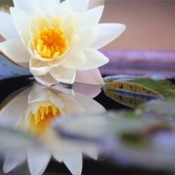 夕暮れ前の日差しが柔らかくなった頃、スイレンは美しさを増す=Water lily to increase the beauty of the when sunlight before dusk became soft.