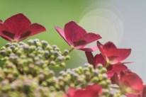 ガクアジサイ。花の背景にある光は、きっと夏の卵なんだろう。