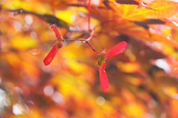 ペアのイロハモミジの種。風に飛んで木となって、またいつか出会うのでしょうか?