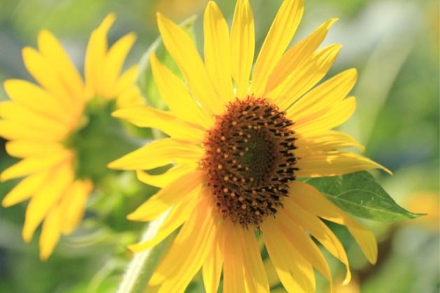 燦々(さんさん)と輝くひまわりの花びら