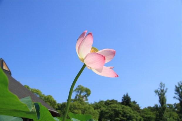 梅雨の晴れ間の青空に映える蓮