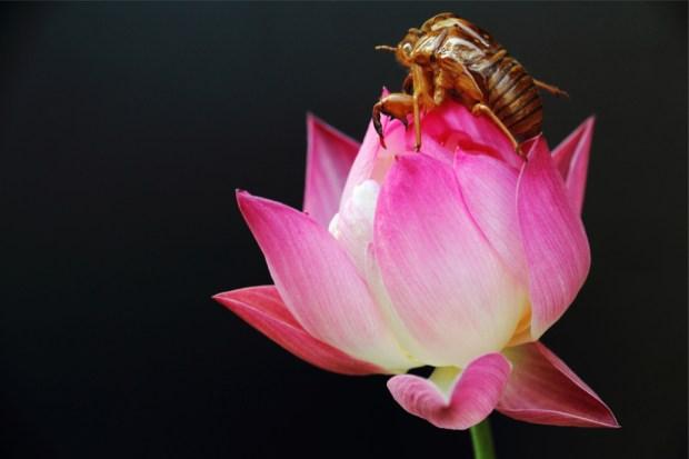 蓮の花と蝉の抜け殻