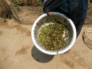 Duck Weed for Duck Feed